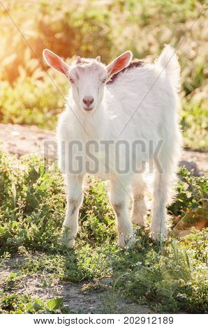 Curious goat grazing on a green grassy lawn. Farm Animal. The goat is looking at the camera. Domestic goat. Free range farm.