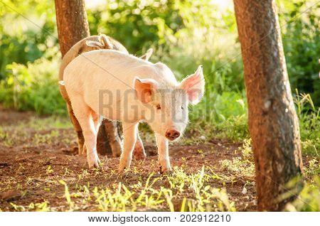Cute Piglet Walking On Grass In Spring Time. Pigs Grazing At  Meadow Under.  Organic Agriculture Nat
