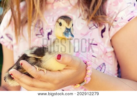 Little Girl With Spring Duckling.  Poultry In The Hands Of The Child.  Duckling Close-up.