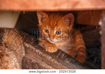 Little red kitten hides under the logs. Homeless cats. Stray cat.