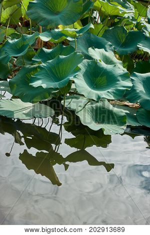 Waterlily And Reflection Tree On Lake