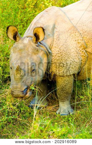 One Horned Indian Rhinoceros Lowered Head Eating