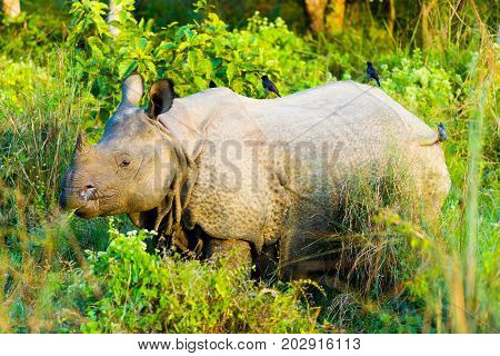 One Horned Indian Rhinoceros Side Birds