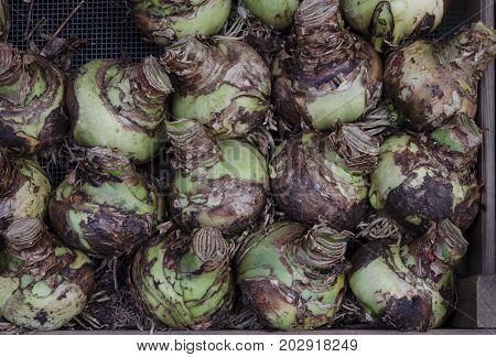 A tray of Amaryllis or hippeastrum bulbs