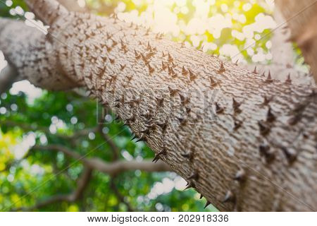 Thorn Tree Of Bombax Ceiba Closeup Sharp Thorn At Tree Bask In Nature Plant