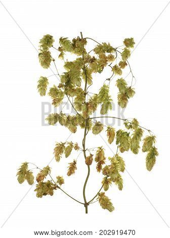 Hops plant twined vine isolated on white background.