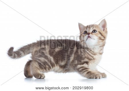Side view of funny little Scottish straight kitten. Isolated on white background.