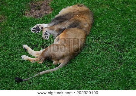 A male lion sleeping in the grass