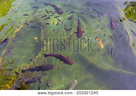 a lot of black fish in underwater clean and clear like glass pond lake water