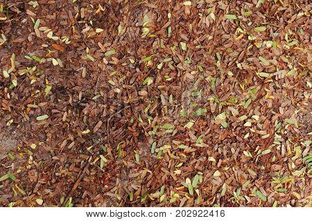 Dried tamarind leaves fall into the ground during autumn