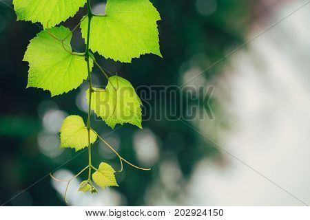 Grape Vine Green Garden Nature Ecology. Closeup High Detail Green Leaf Texture With Chlorophyll And