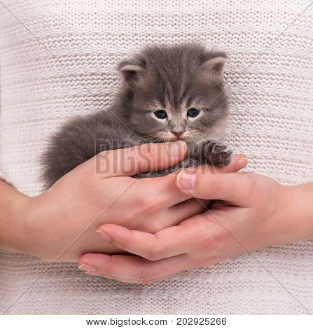 Cute little kitten on a woman's hands over white sweater background