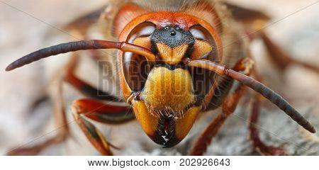 Horizontal Portrait Of Giant Hornet