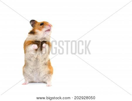 Cute Syrian hamster standing on its hind legs and looking sideward with attention (isolated on white) with copy space on the right