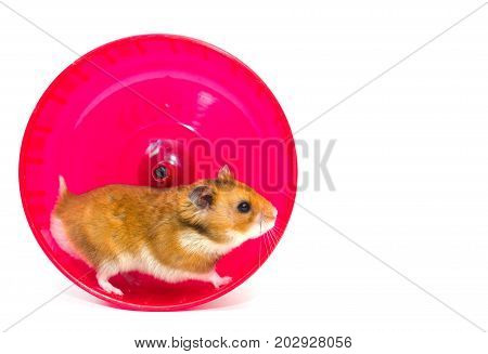 Cute Syrian hamster running in a bright pink hamster wheel (isolated on white) with copy space on the right