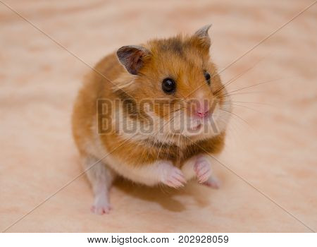 Funny Syrian hamster sitting on its hind legs (on a light beige background) selective focus on the hamster eyes