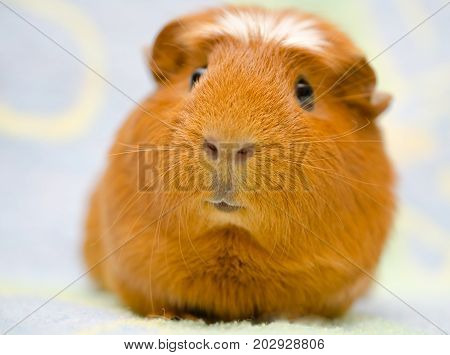 Cute funny-looking guinea pig against a bright background (selective focus on the guinea pig mouth)