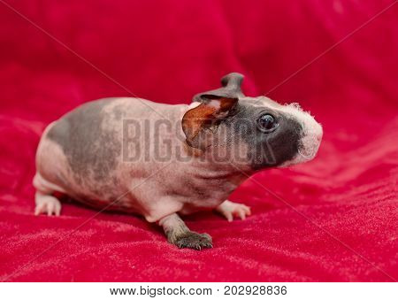 Cute skinny guinea pig baby on a bright red background