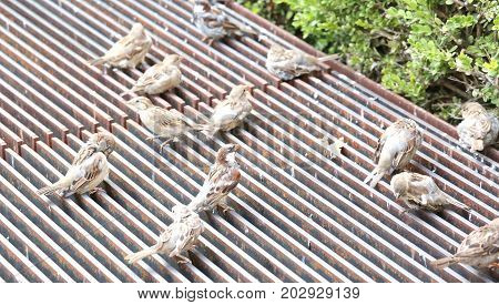 Sparrows Over The Grate To Warm Themselves Up During A Cold Autu