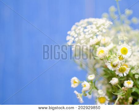 Beautiful blurred wild chamomile flowers against a bright blue background (very shallow DOF selective focus) copyspace on the left