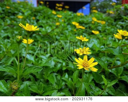 Sunny yellow flowers background,natural background,close up flower.