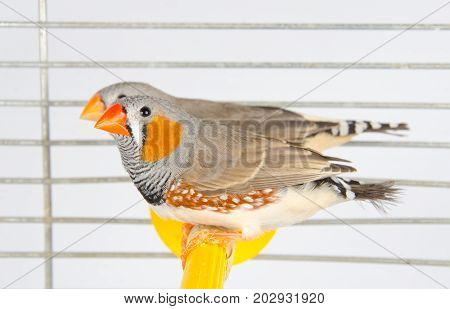 A couple of Zebra Finches on a perch in a cage