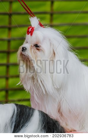 dog shih-tzu takes part in dog show