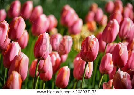 Blooming pink tulips flowerbed in Keukenhof flower garden, also known as the Garden of Europe, one of the world largest flower gardens and popular tourist attraction. Lisse, the Netherlands.