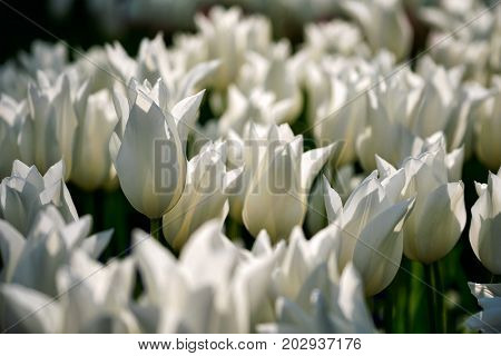 Blooming white tulips flowerbed in Keukenhof flower garden, also known as the Garden of Europe, one of the world largest flower gardens and popular tourist attraction. Lisse, the Netherlands.