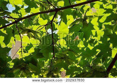 Green maple leaves sunlight background Green maple leaves