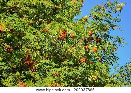 Clusters of red ashberry on a tree