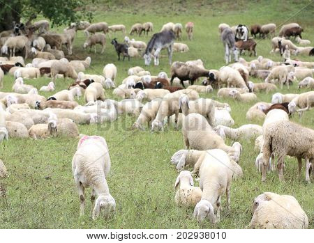 White Sheep With Lambs Grazing In The Mountain Meadow