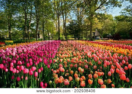 Blooming tulips flowerbed in Keukenhof flower garden, also known as the Garden of Europe, one of the world largest flower gardens and popular tourist attraction. Lisse, the Netherlands.