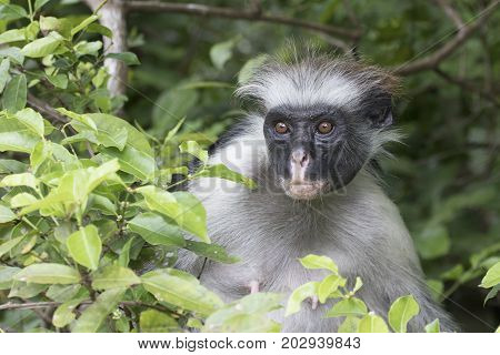 Portrait of a red colobus of Zanzibar sitting among green leaves on a tree