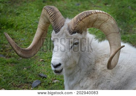 A male Dall sheep in the outdoors