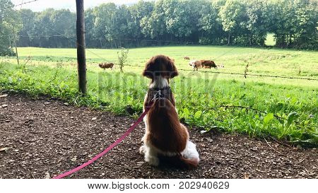 Portrait of a cute Welsh Springer Spaniel puppy on a leash eagerly watching cows on a pasture