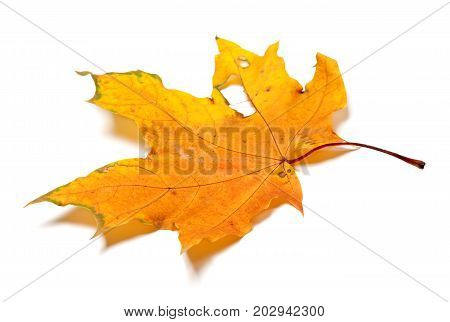 Autumn Yellow Dry Maple Leaf With Holes
