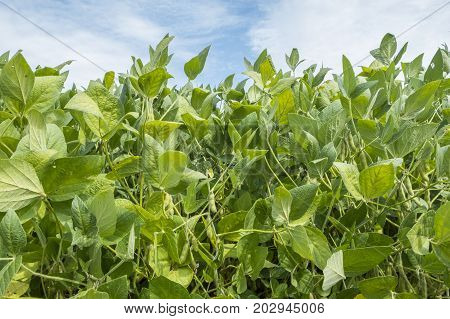 Soybeans Hanging from the Soy Plants in the Field