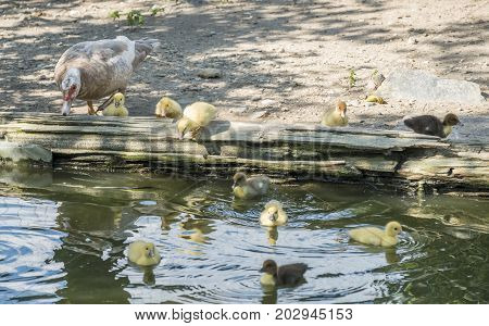 Mommy Muscovy Duck with Her Ducklings by the Pond