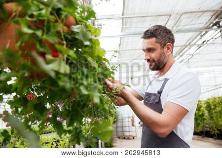 Concentrated bearded man in white t-shirt and apron working with plants in greenhouse