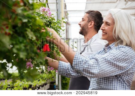 Cheerful workers, mature woman and smiling man, looking and touching plants in greenhouse