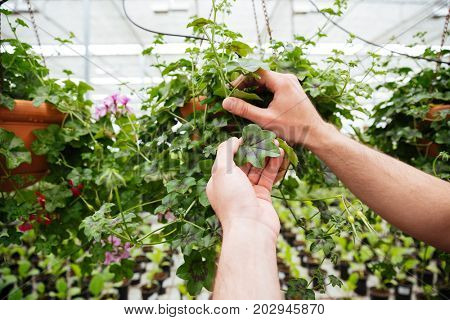 Close up of man holding green plant while working in greenhouse