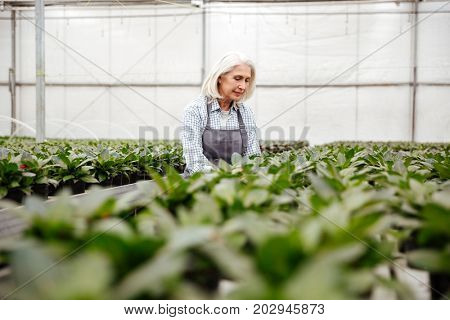 Young concentrated mature blonde woman in apron working with plants in greenhouse