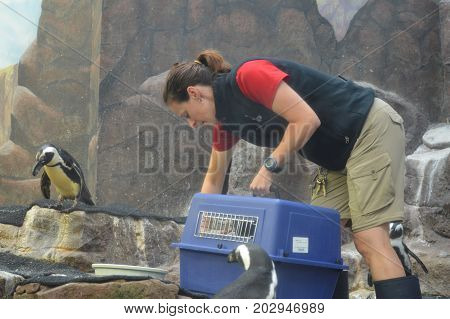 SAINT PAUL, MINNESOTA- AUGUST 2017:  A zookeeper with the penguins at Como Zoo and Conservatory in St. Paul, MN.