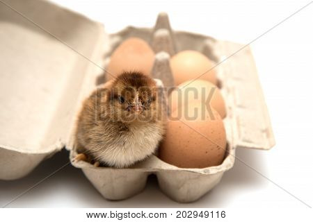 Close-up cute small brown chicken nestling sitting in rack with eggs.