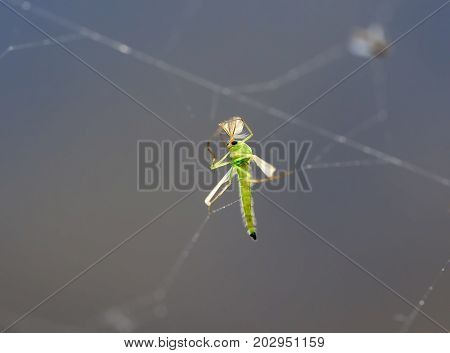 nasty little green mosquito was caught in the web