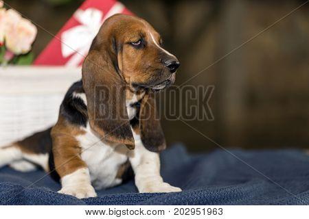 The Sweet And Gentle Puppy Basset Hound