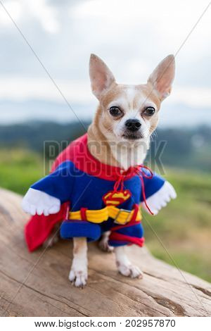 Chiang Mai, Thailand - December 29, 2016: Funny chihuahua dog in Superman costume