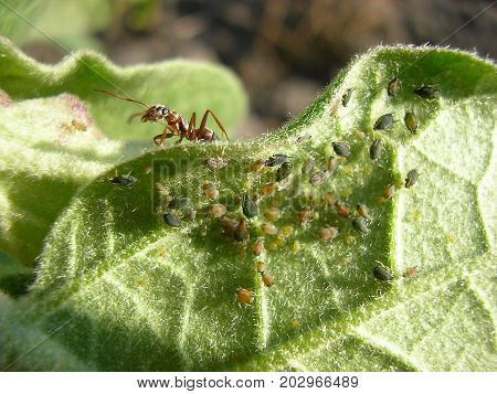 The Ant Flocks A Herd Of Aphids On A Leaf.