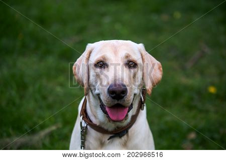 Smiling Labrador Retriever also labrador labradorite for a walk looks in the frame. Portrait of a Labrador's green grass with dandelions. Dog in collar Dog Year 2018.